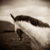 irish-horse