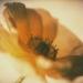 anemone-winter8-6annaha