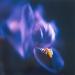 iris-winter10-1annahalmsc