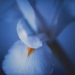 iris-winter3-1annahalmsch