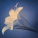 liliy-spring8-2annahalmsch