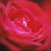 rose-autumn3-3annahalm