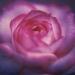 rose-autumn6-3annahalm