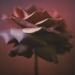 rose-autumn7-1annahalmsc