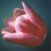 tulip-spring1-4annahalmsch