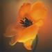 tulip-spring3-4annahalmsch