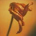 tulip-winter10-5annahalms