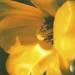 tulip-winter9-8annahalmsc